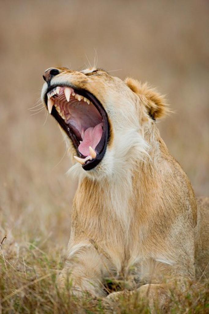 lioness - screaming, Panthera leo : Stock Photo