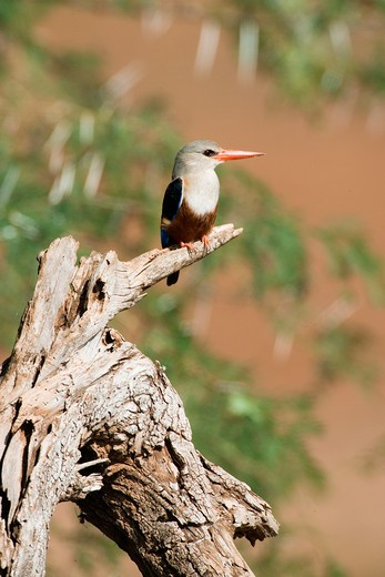 grey-headed kingfisher - on branch, Halcyon leucocephala : Stock Photo