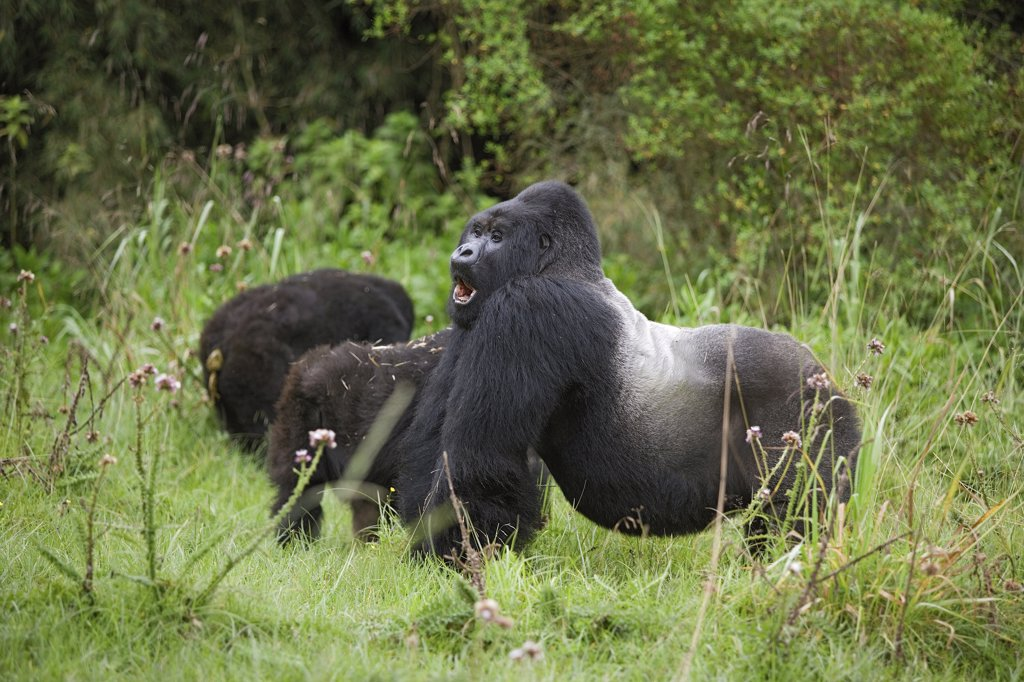 mountain gorilla - silverback, Gorilla beringei beringei : Stock Photo