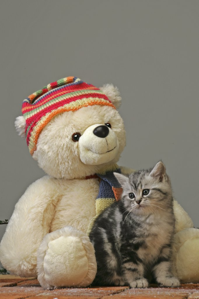 Stock Photo: 4279-18263 British Shorthair kitten with Teddybear