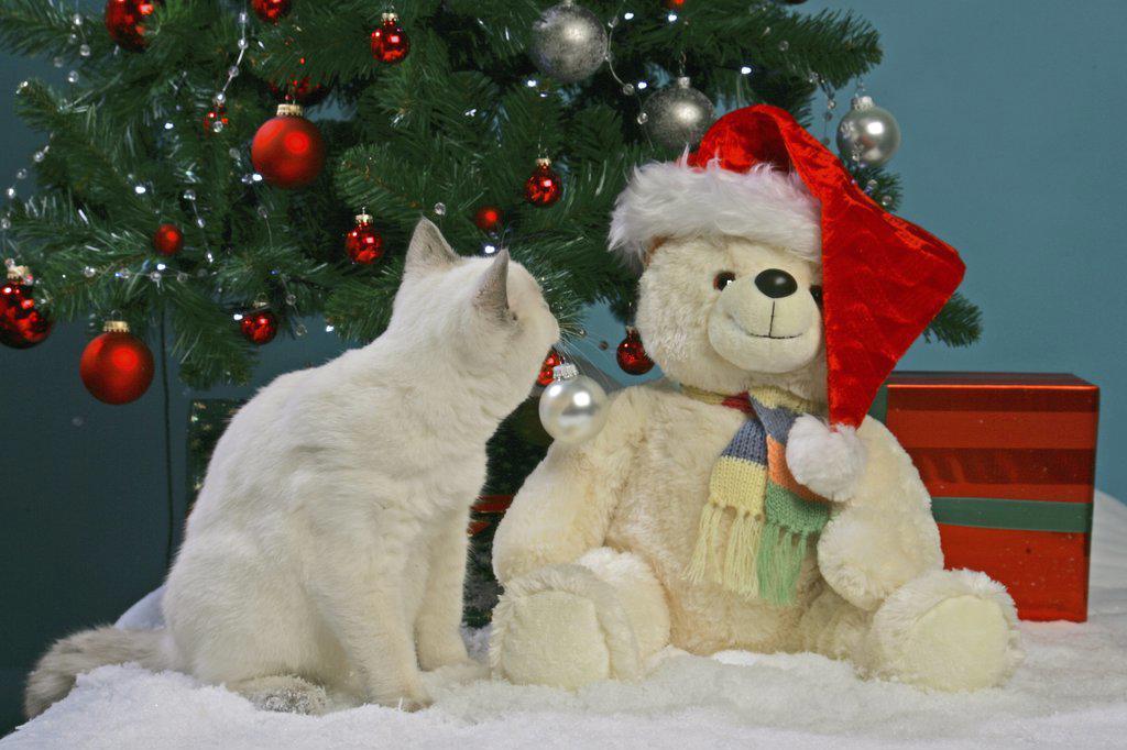 christmas : British Shorthair with Teddybear : Stock Photo
