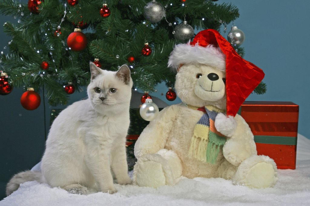 Stock Photo: 4279-18271 christmas : British Shorthair with Teddybear