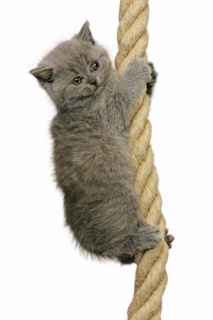 British Shorthair kitten - at rope : Stock Photo