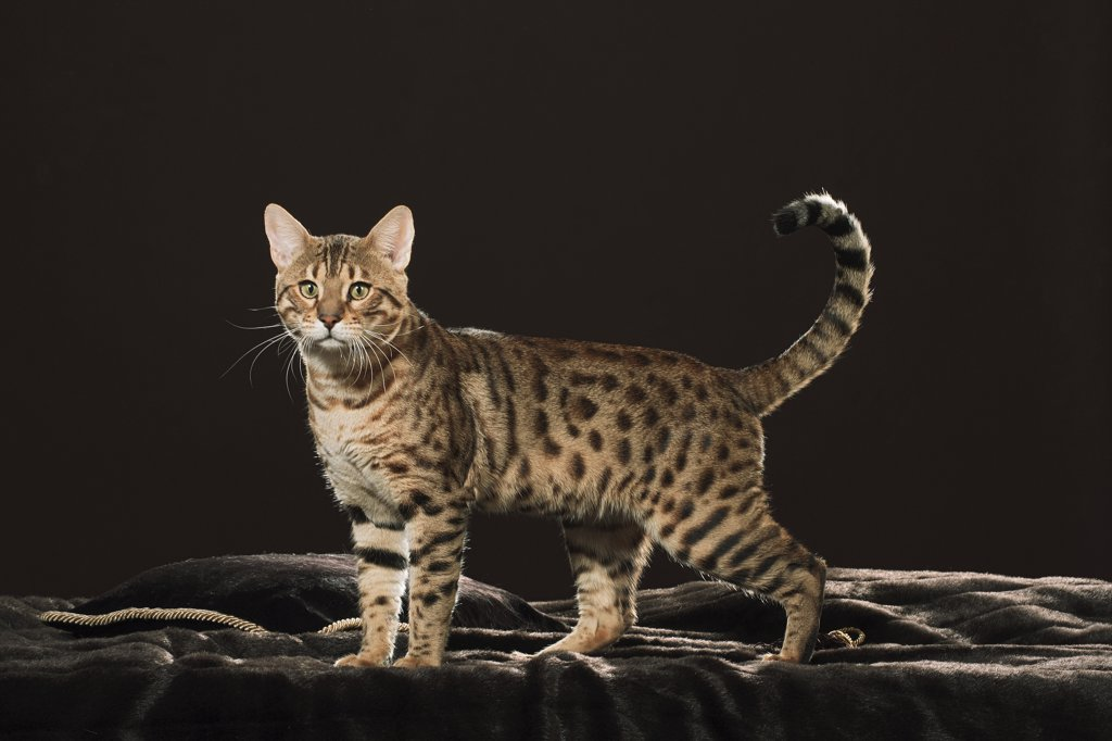 Stock Photo: 4279-18926 Bengal cat - standing - cut out
