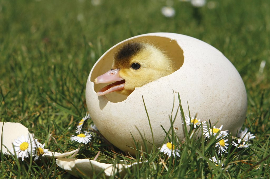 Stock Photo: 4279-18983 chick - in eggshell