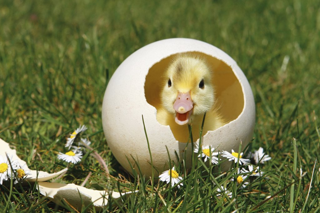 chick - in eggshell : Stock Photo