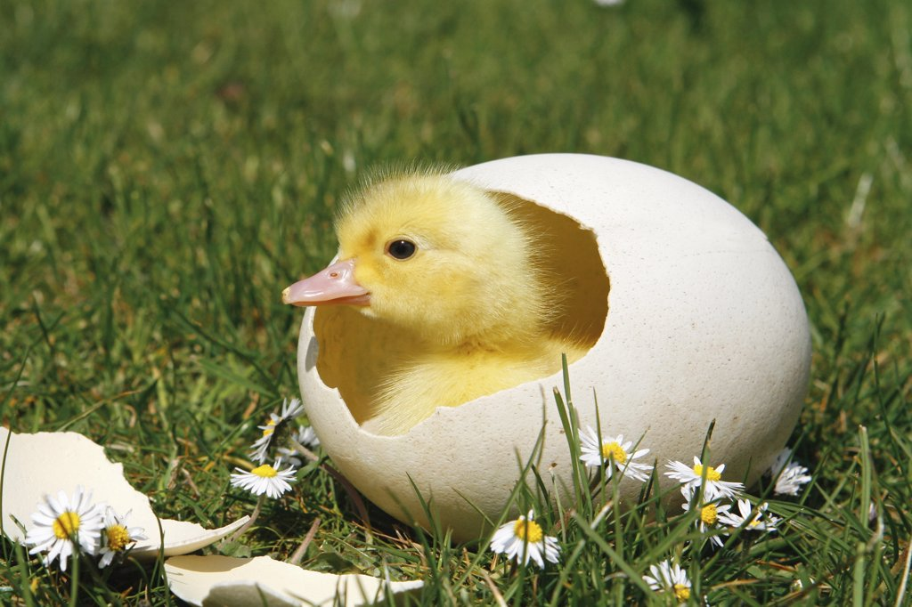 Stock Photo: 4279-18987 chick - in eggshell