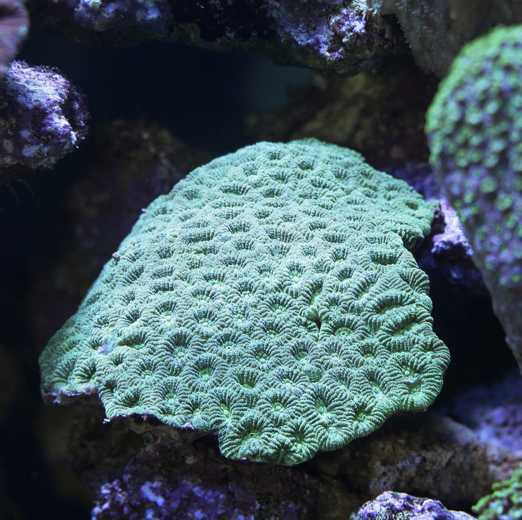 Stock Photo: 4279-19021 brain coral, Montastrea Curta