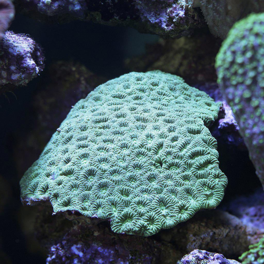 Stock Photo: 4279-19021 brain coral, Montastrea Curta
