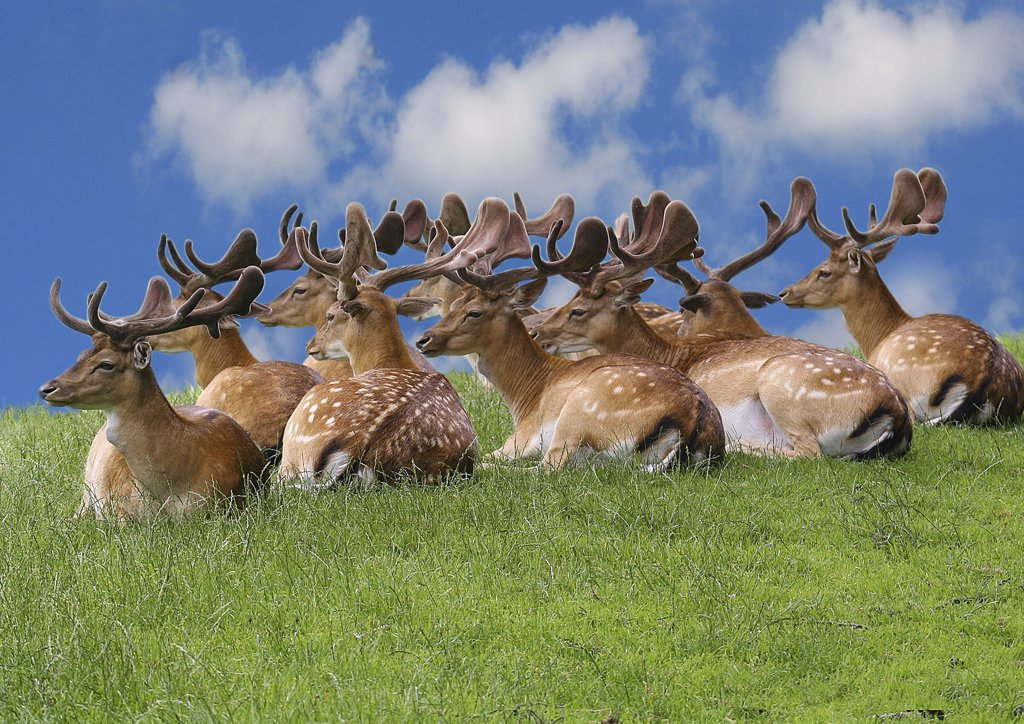 Stock Photo: 4279-19171 fallow deers - on meadow, Dama dama