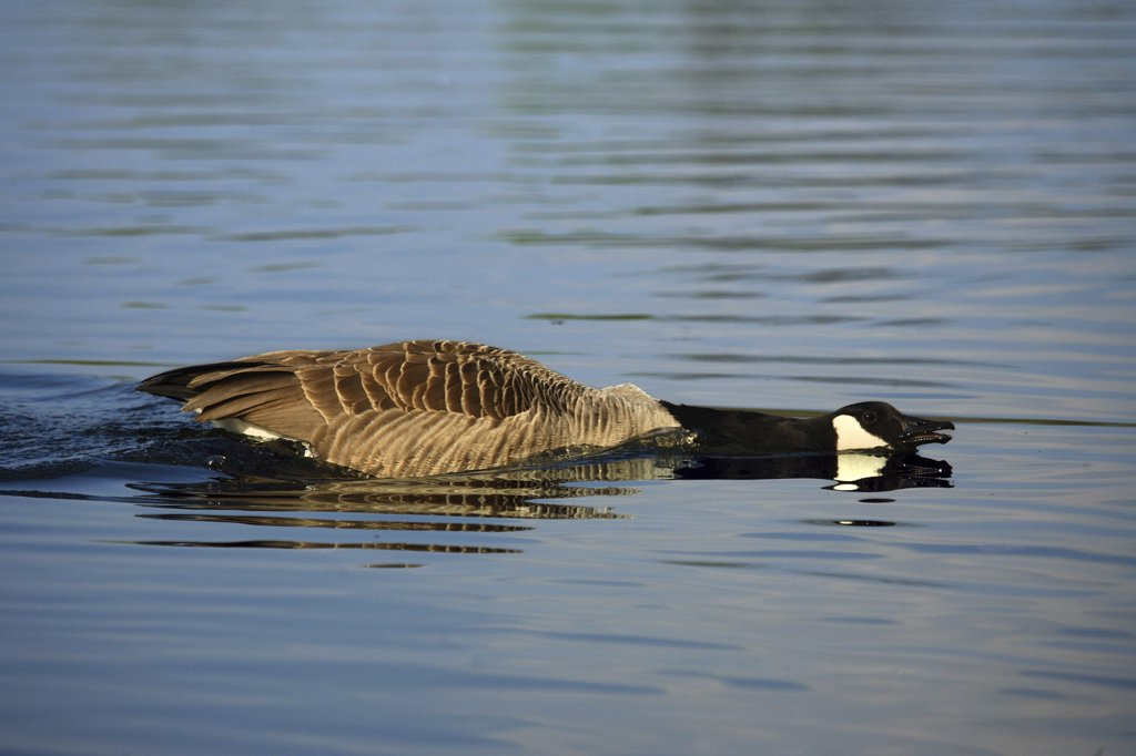 Stock Photo: 4279-19228 Canada goose - in water, Branta canadensis