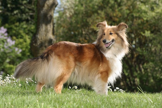 Stock Photo: 4279-19480 Sheltie - standing on meadow