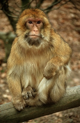 Stock Photo: 4279-1955 macaca sylvanus, barbary ape, macaque