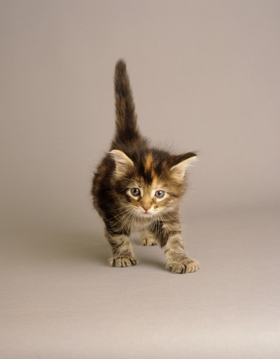 Stock Photo: 4279-19559 Maine Coon kitten - standing - cut out