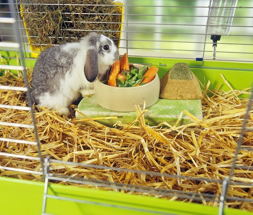 lop-eared dwarf rabbit in cage - munching : Stock Photo
