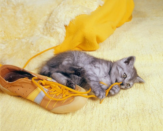 Stock Photo: 4279-19730 bad habit : kitten chawing at shoelace