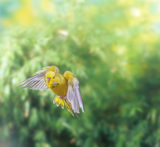 budgerigar - flying, Melopsittacus undulatus : Stock Photo
