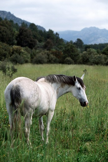 Stock Photo: 4279-1989 Andalusian horse