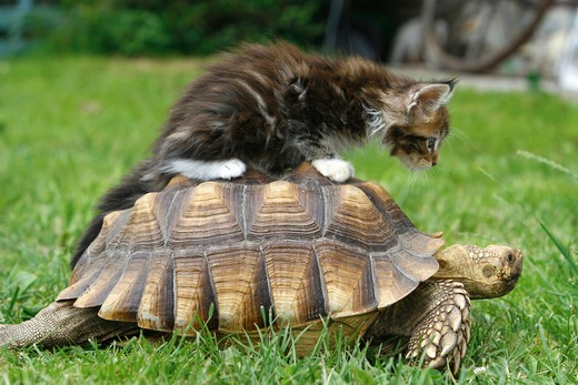 Stock Photo: 4279-19977 animal friendship : Maine Coon kitten on Hermann's tortoise