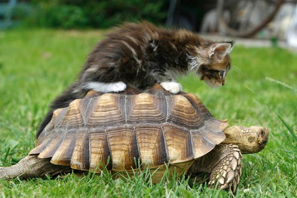 animal friendship : Maine Coon kitten on Hermann's tortoise : Stock Photo
