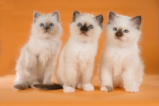 Stock Photo: 4279-20041 three Sacred cat of Burma kittens - sitting