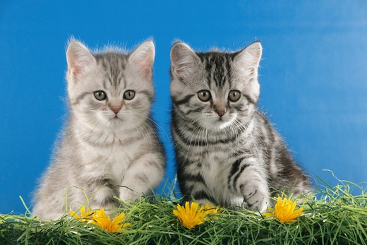 two British Shorthair kittens - sitting : Stock Photo
