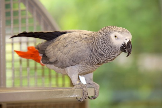 Stock Photo: 4279-20133 grey parrot - standing at cage