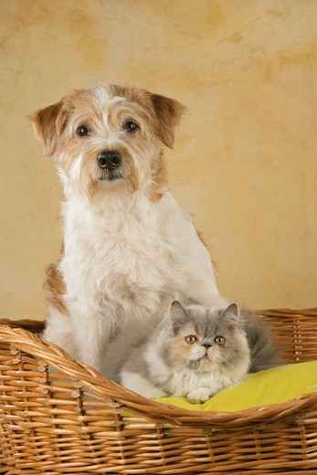 Stock Photo: 4279-20152 animal friends: Kromfohrlaender and Persian Cat