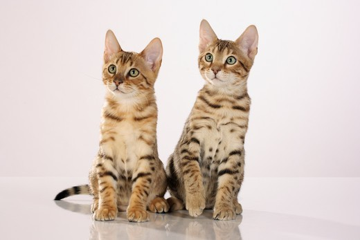 two Bengal kittens - sitting - cut out : Stock Photo