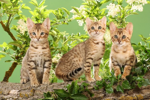 Stock Photo: 4279-20697 three Bengal kittens in front of elderberry blossoms