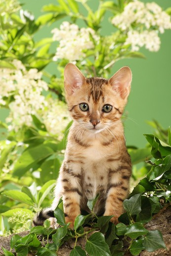 Stock Photo: 4279-20698 Bengal kitten - sitting in front of elderberry blossoms