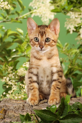 Stock Photo: 4279-20701 Bengal kitten - sitting in front of elderberry blossoms