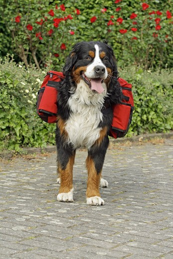 Bernese Mountain dog with rucksack for dogs : Stock Photo