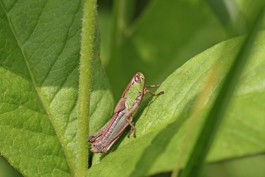 Meadow Grasshopper, Chorthippus parallelus : Stock Photo