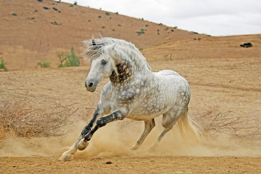 Arab-Barb - galloping : Stock Photo