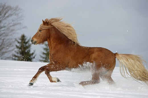 Stock Photo: 4279-21169 Icelandic horse - galloping in snow