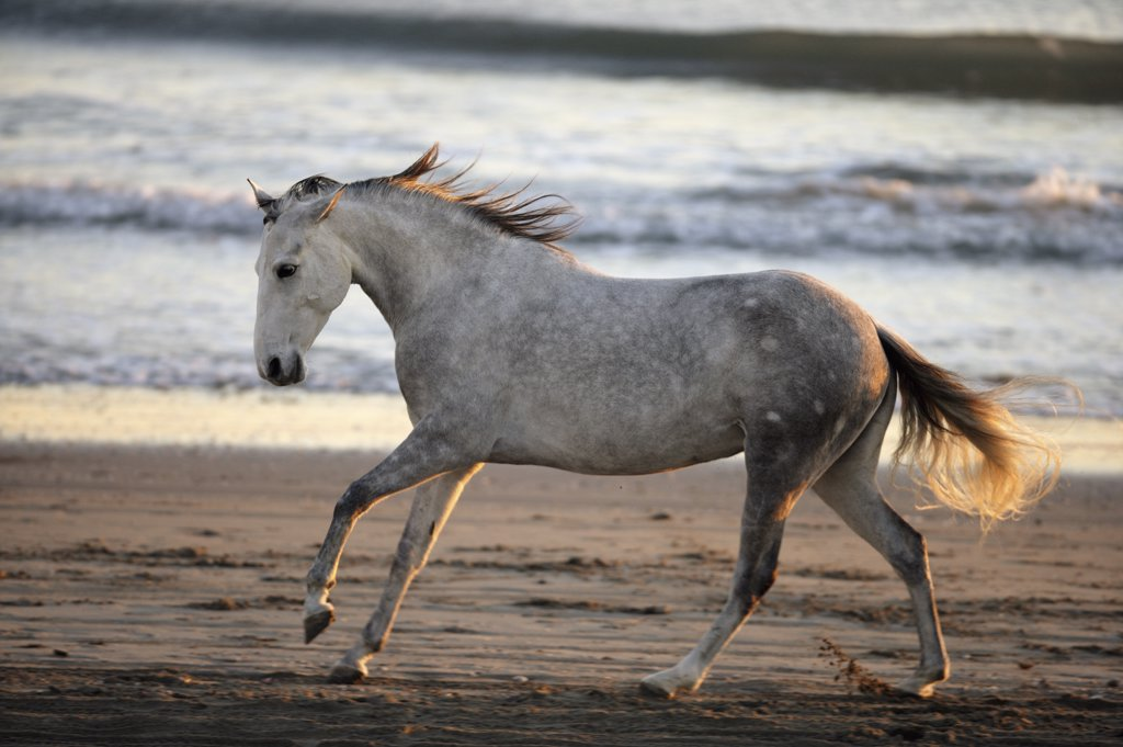 horse - (Lusitano-Mix) - at the beach : Stock Photo