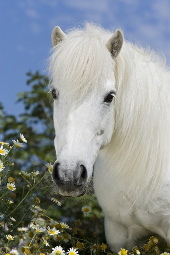 Stock Photo: 4279-21317 Shetlandpony - portrait