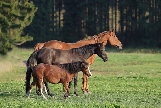 Welsh pony and warmblood horses : Stock Photo