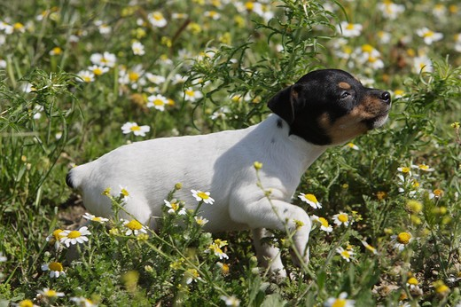 Ratonero Bodeguero Andaluz - puppy on meadow : Stock Photo