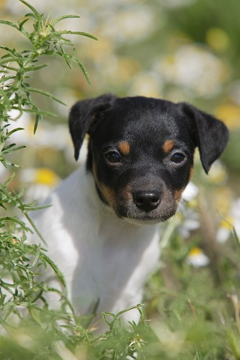 Stock Photo: 4279-21421 Ratonero Bodeguero Andaluz - puppy on meadow