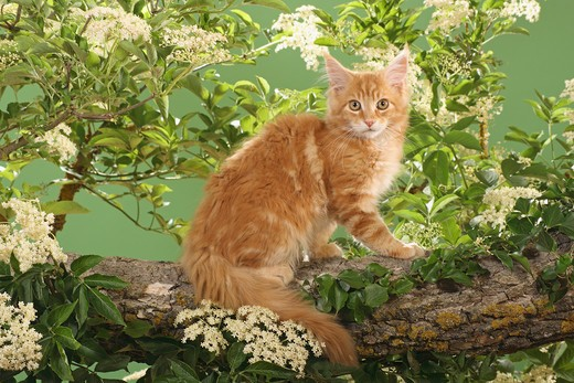 Stock Photo: 4279-21451 Maine Coon kitten on branch