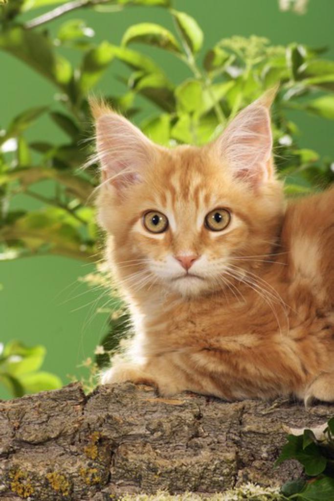 Stock Photo: 4279-21455 Maine Coon kitten on branch