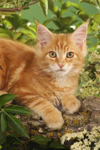 Stock Photo: 4279-21456 Maine Coon kitten on branch