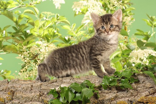 Stock Photo: 4279-21655 kitten on branch