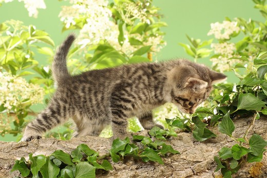 Stock Photo: 4279-21657 kitten on branch