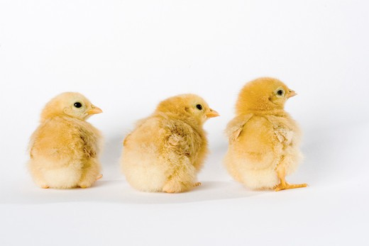 Stock Photo: 4279-21761 three chicks - cut out