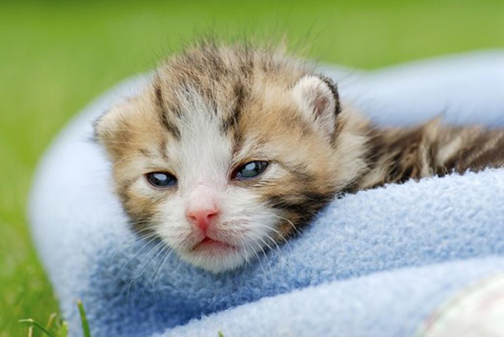 Kitten in blanket : Stock Photo