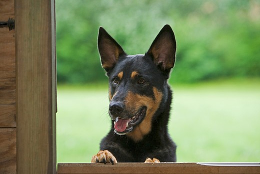 Stock Photo: 4279-21872 half breed dog looking through window
