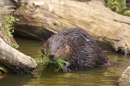 Stock Photo: 4279-21960 beaver in water